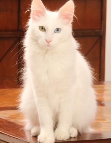 angora-turc