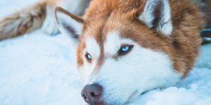 husky-yeux-bleus