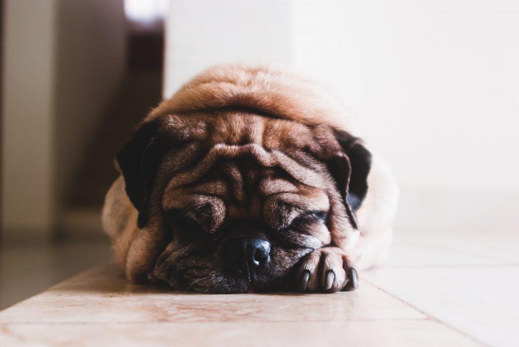 Boulledog-triste