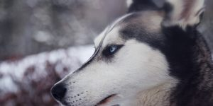 Fier-husky-menacant